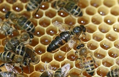 матка, пчелы