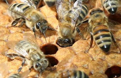 пчелы и расплод
