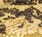 Благополучие пчел  в современных условиях