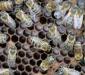 Роль антимикробного пептида дефенсина в иммунитете пчелиной семьи