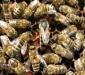 Матки без работы — пчеловод без меда