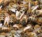 Породообразовательный процесс в пчеловодстве