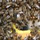 Пчелиный «спецназ»