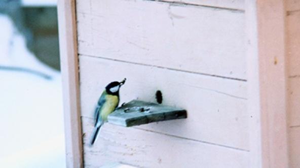 Синицы и зимовка пчел