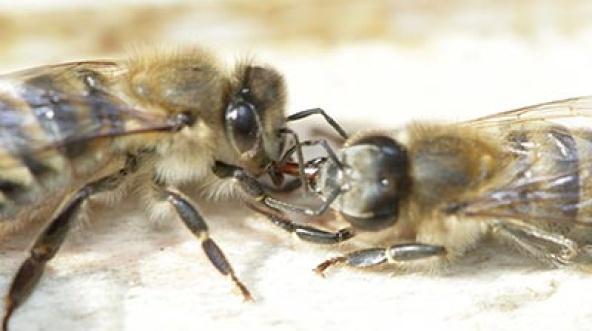 Бессотовые naкетные пчелы на вощине