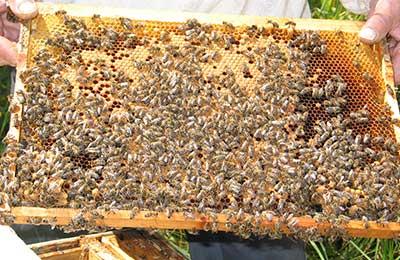 Аскозол - новый препарат для лечения аскосфероза и аспергиллеза пчел -  журнал Пчеловодство