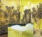 Пчелы отстраивают искусственную вощину