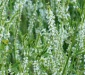 цветет донник
