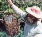 поимка роя пчел