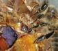пчела, перга, соты