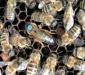 меченая матка и пчелы