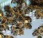 пчелы возле пыльцеуловителя
