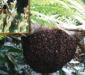 Гигантская индийская пчела (Apis dorsata F.)